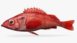 3D pacific ocean perch model