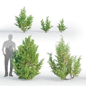 juniper juniperus 3D model
