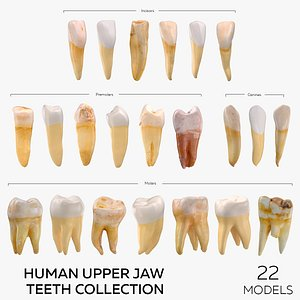 Human Upper Jaw Teeth Collection - 22 models 3D model