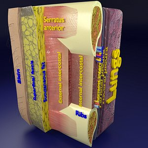 thoraci wall layers model