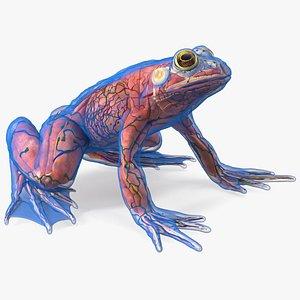 3D Frog Anatomy Complete Body Transparent Skin