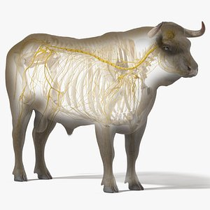 3D Bull Body, Skeleton and Nerves Static