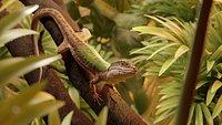 Green Lizard   Podarcis Sicula