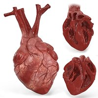 Human Heart and 2 Heart Sections 3D model
