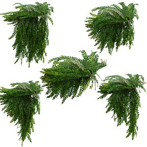 3D Phyllanthus cochinchinensis muell 02