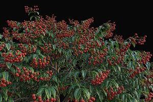 XfrogPlants Lychee - Litchi Chinensis 3D model