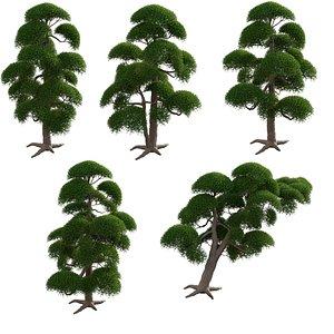 3D Podocarpus macrophyllus