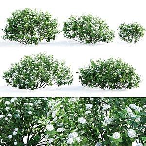 3D spiraea betulifolia
