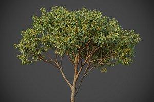 3D model XfrogPlants Witch Hazel - Hamamelis Virginiana