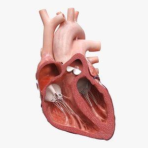 Heart Anterior Section v2 Animated 3D model