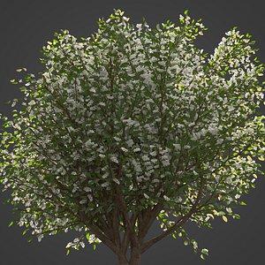 3D 2021 PBR European Bird Cherry Collection - Prunus Padus