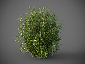 XfrogPlants Bay Laurel - Laurus Nobilis 3D