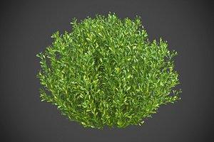 XfrogPlants Gallberry - Ilex Glabra 3D model