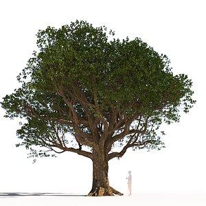 mature coast live oak 3D