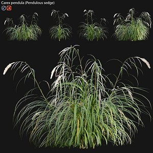 Carex pendula 02 model