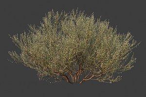 XfrogPlants Retama Raetam 3D model