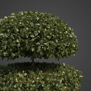 plants common boxwood - 3D model