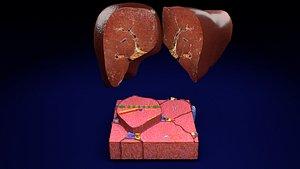 liver lobule 3D model