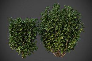 XfrogPlants Cherry Laurel - Prunus Laurocerasus 3D