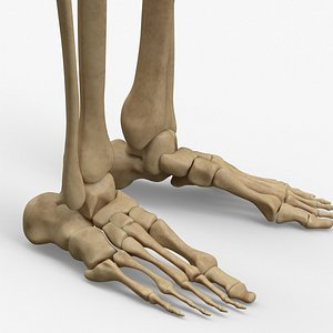 anatomy legs foot bones 3D model