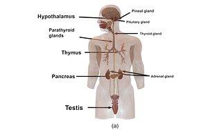 3D model Male Endocrine Glands
