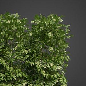 3D carpinus hedge