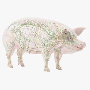 Pig Body Skeleton and Lymphatic System Static 3D model