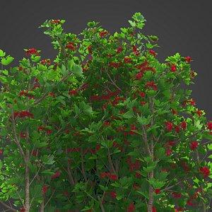 2021 PBR European Cranberry Bush Collection - Viburnum Opulus model