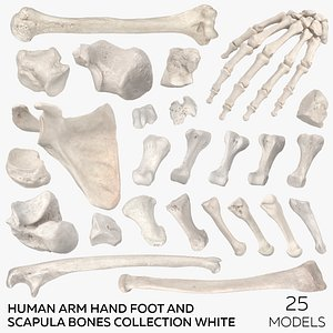 3D model Human Arm Hand Foot and Scapula Bones Collection White - 25 models