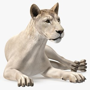 3D Young White Lion Rigged for Maya model