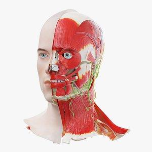 Human Male Head Anatomy 3D