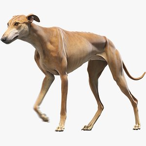 3D realistic greyhound animations