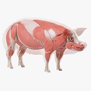 3D Pig Body Skeleton and Muscles Static model