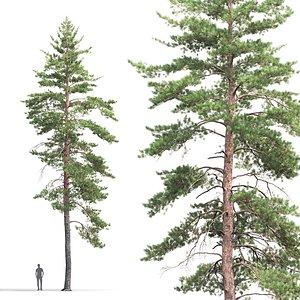 pine sylvestris 08 3D