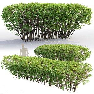 spirea hedges model