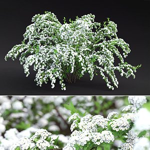 spirea shrub 3D