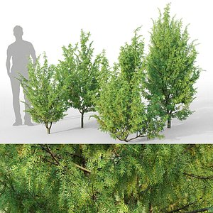 3D juniper juniperus model
