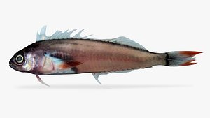 3D panamic fanged blenny