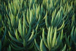 3D XfrogPlants Blue Chalksticks - Senecio Mandraliscae