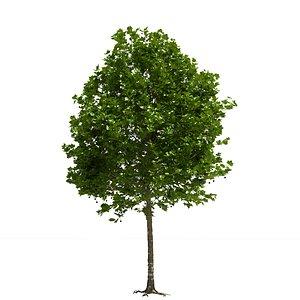 3D london plane tree model