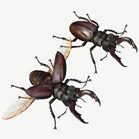 Stag Beetle Lucanus Cervus