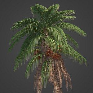 3D 2021 PBR Senegal Date Palm Collection - Phoenix Reclinata