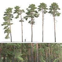 Pinus Sylvestris 31