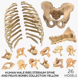 3D Human Male Ribs Sternum Spine and Pelvis Bones Collection Yellow - 26 models