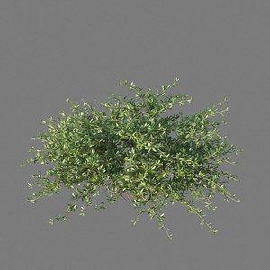 XfrogPlants Beech Creeper - Ernodea Littoralis 3D