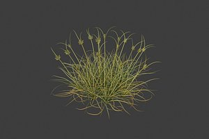 XfrogPlants Dune Grass - Cyperus Conglomeratus 3D
