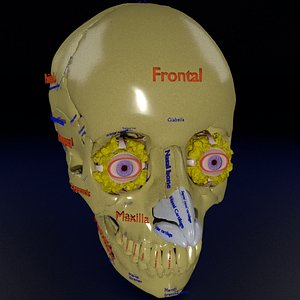 eye with complete skull 3D