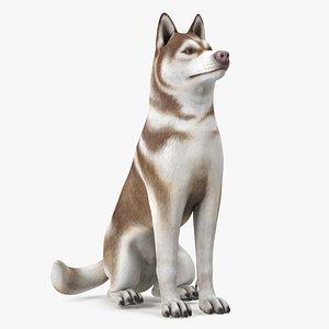 3D Sitting Siberian Husky Copper and White model
