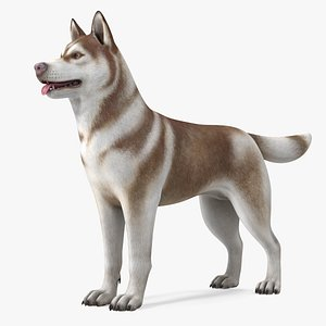 Husky Dog Copper and White Coat Rigged 3D model