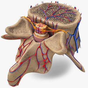anatomy vertebra spinal cord 3D model